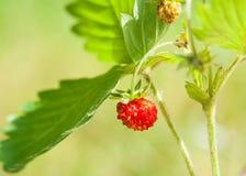 Erdbeere und Blatt auf grünem Hintergrund Lizenzfreie Stockfotografie