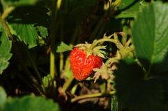 Erdbeere unter Blättern stockfoto