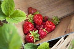 Erdbeere-Wanne Lizenzfreie Stockfotografie