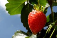 Erdbeereanlage Stockfotografie