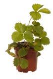 Erdbeereanlage Lizenzfreie Stockbilder