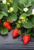 Erdbeereanlage Lizenzfreies Stockbild