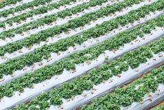 Erdbeerebauernhof. Stockfotografie