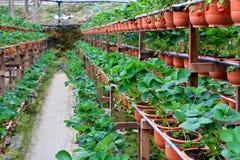 Erdbeerebauernhof Stockfotos