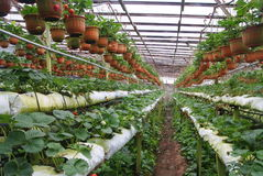 Erdbeerebauernhof Lizenzfreies Stockbild