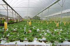 Erdbeerebauernhof Stockfotografie