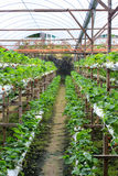 Erdbeerebauernhof Stockfoto