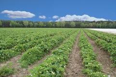 Erdbeerefeld 2 Lizenzfreie Stockbilder