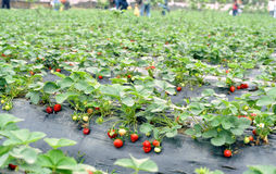 Erdbeerefeld Lizenzfreie Stockfotos