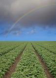Erdbeerefeld mit Regenbogen Lizenzfreies Stockbild