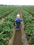 Erdbeerefelder Lizenzfreie Stockfotografie