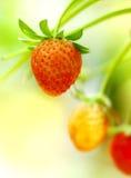 Erdbeerefrüchte auf dem Zweig Lizenzfreies Stockfoto