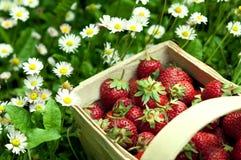 Erdbeerekorb am Garten Stockfoto