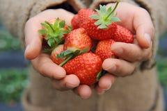 Erdbeerelüge in den Händen Stockbilder