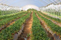 Erdbeeren Lizenzfreies Stockfoto