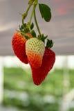 Erdbeeren angebaut im Gemüsegewächshaus Stockfotos