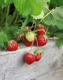 Erdbeeren auf der Rebe stockbilder