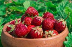 Erdbeeren auf Weiß Reife Erdbeere im Frucht-Garten, altes W Lizenzfreies Stockfoto
