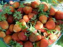 Erdbeeren des frühen Morgens von Ihrem eigenen Garten lizenzfreie stockbilder