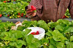 Erdbeeren, die -2 ausgewählt werden Stockbilder