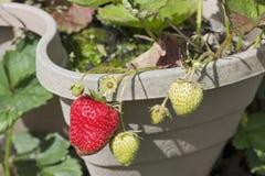 Erdbeeren, die in einem Gartentopf reifen lizenzfreie stockbilder