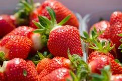 Erdbeeren, die gewachsen werden Stockbild