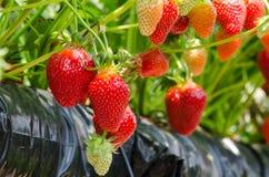 Erdbeeren, die gewachsen werden Stockfotografie