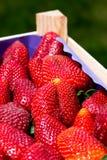 Erdbeeren in einem Rahmen Lizenzfreie Stockfotos