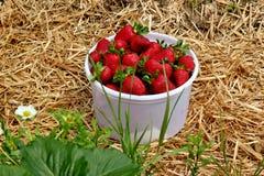 Erdbeeren in einer Wanne Lizenzfreie Stockfotos