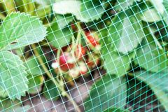 Erdbeeren gehen bedeckt mit schützender Masche von den Vögeln zu Bett Lizenzfreie Stockfotografie