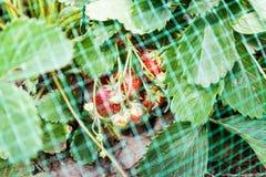 Erdbeeren gehen bedeckt mit schützender Masche von den Vögeln zu Bett Stockbild