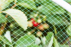 Erdbeeren gehen bedeckt mit schützender Masche von den Vögeln zu Bett Stockbilder