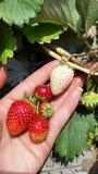 Erdbeeren an Hand Stockfoto