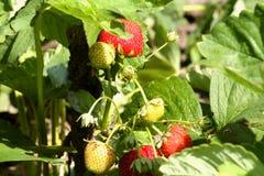 Erdbeeren im Garten Lizenzfreies Stockbild