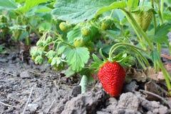 Erdbeeren im Garten Stockbild