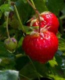 Erdbeeren im Garten nach dem Regen Stockfotos