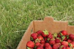Erdbeeren im Kasten Stockbild