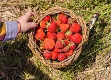 Erdbeeren im Korb Lizenzfreies Stockbild
