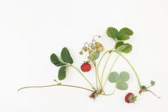 Erdbeeren mit Blättern und Beeren auf einem Weiß Stockfotos