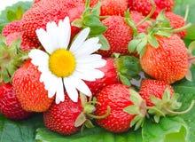 Erdbeeren und Kamille Stockbild