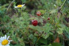 Erdbeeren und Kamille Lizenzfreie Stockfotografie