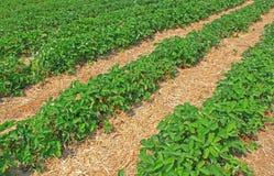 Erdbeerfeld Stockbild