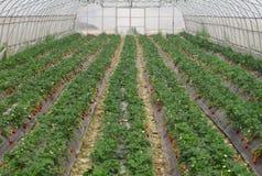 Erdbeerfeld Stockbilder
