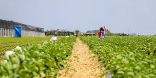 Erdbeerfeld im Dorf von Kisac stockfotografie