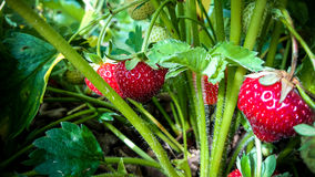 Erdbeerfeld mit reifen Erdbeeren als Hintergrund Stockbild