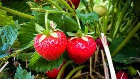 Erdbeerfeld mit zwei reifen Erdbeeren Stockbild