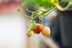 Erdbeerfrüchte lizenzfreie stockbilder