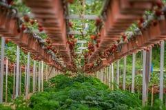 Erdbeerfrüchte auf Anlagen auf Erdbeerbauernhof stockfoto