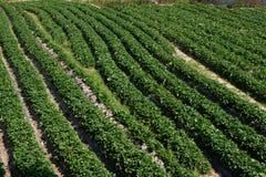 Erdbeerfrüchte im Garten Lizenzfreies Stockbild