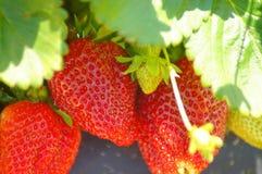 Erdbeerfreuden stockbild